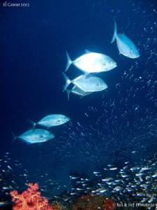 Jackfish hunting glasfish. by Stéphane Primatesta
