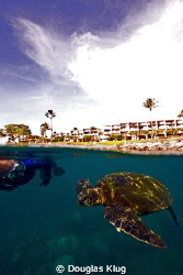 BFF. This green turtle greets a diver with Napili Point i... by Douglas Klug