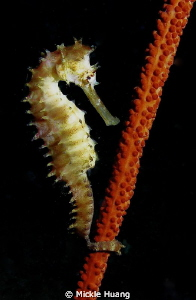 Seahorse Northeast Coast Taiwan by Mickle Huang