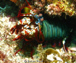 Mantis shrimp ready to take me on! by Brian Pool