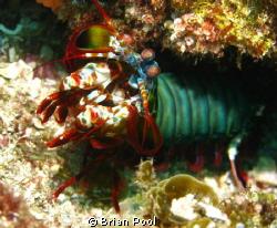 Mantis shrimp ready to take me on! by Brian Pool