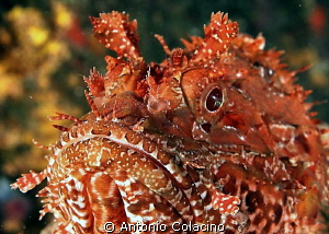Scorpaena scrofa, a specimen of scorpion fish, picture ta... by Antonio Colacino