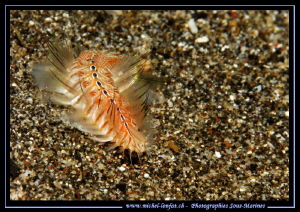 A Fire Worm on the sand of Lembeh Strait... :O)... by Michel Lonfat