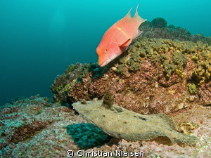 The odd couple. The mexican hogfish likes to interfere. S... by Christian Nielsen