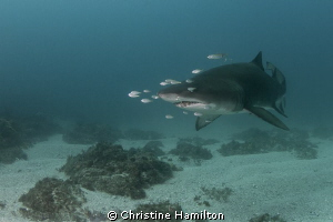 Solitary Grey Nurse Shark by Christine Hamilton