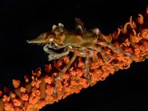 Xenocarcinus tuberculatus - close up - by Alex Varani