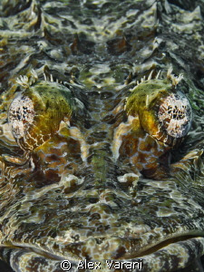 Papilloculiceps longiceps - face to face to crocodilefish - by Alex Varani