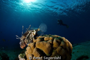 "Lionfish shot in Nuweiba at the Hilton house reef ""Abou L... by Peter Segerdahl"