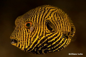Juvenile Pufferfish by William Loke