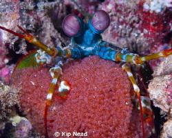 Peacock mantis shrimp with eggs by Kip Nead