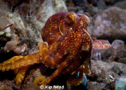 This is a Mototi octopus, they display a single blue ring... by Kip Nead