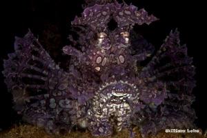 Lavender Rhinopias frondosa by William Loke