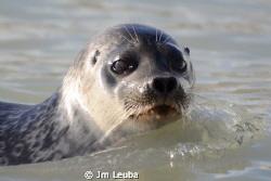 Seal in the Spitsbergen by Jm Leuba