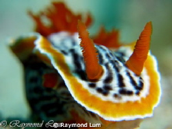 Chromodoris strigata posting =) by Raymond Lum