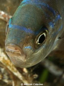 Spicara maena, a 25 cm fish, picture taken by 50 mm macro... by Antonio Colacino