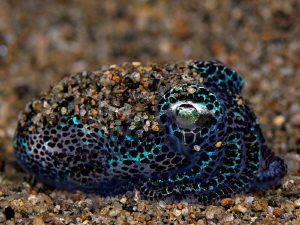 """""""Bobtail Squid"""" by Henry Jager"""