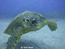Hawsksbill Turtle of the coast of Jupiter Florida