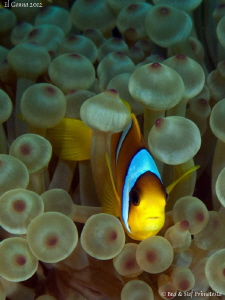 Clownfish. by Stéphane Primatesta