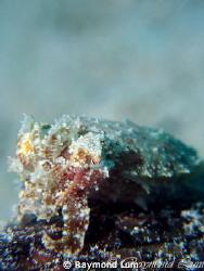 1 inch - Juvenile Cuttlefish camouflaging by Raymond Lum