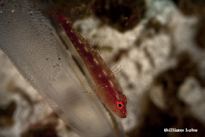 Goby, Tunicate & Eggs... by William Loke