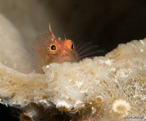Rare Ringed Blenny by John Roach