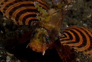 Shortfin scorpion fish, night dive,  torpedo alley, horse... by John Roach