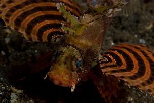 Shortfin scorpion fish, night dive,  torpedo alley, horse... by John Roach