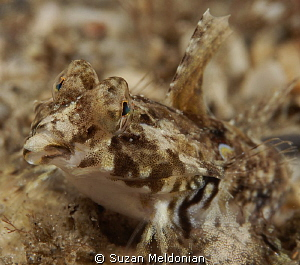 Female Dragonet strutting her stuff. by Suzan Meldonian