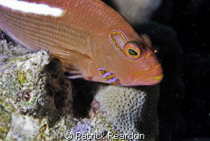 Arc-eye hawkfish. by Patrick Reardon