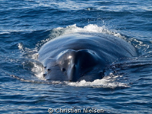 Before the dive. Friendly humpback whale was interacting ... by Christian Nielsen