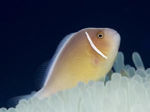 Anemonefish II   Philippinen Dauin Anemonefish - Amph... by Jörg Menge