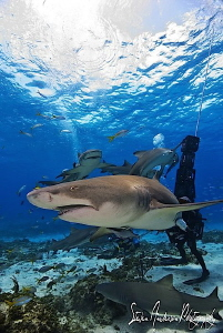 Ah yes!!! The Lemon Sharks of Tiger Beach are so much fun... by Steven Anderson