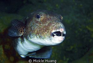 I need to see a dentist Starry puffer Green Island Taiwan by Mickle Huang