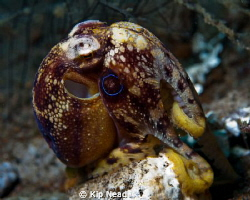 A Mototi octopus getting ready to jet away! by Kip Nead