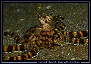 Mimic Octopus on the sand of Lembeh Strait... ;O)... by Michel Lonfat