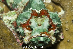 Flasher Scorpionfish by Leah Sindel