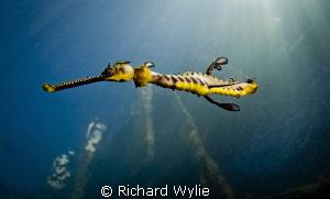 """""""Short Tail Weedy Seadragon"""". This weedy seadragon has ha... by Richard Wylie"""