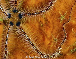 Brittle star and sidekicks by Peet Van Eeden