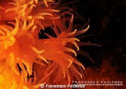 Orange flowers. Astroides calycularis by Francesco Pacienza