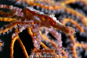 Spider crab (Xenocarcinus conicus) This photo was taken ... by Iyad Suleyman