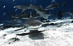 Under and over the Lemon Sharks go at Tiger Beach - Bahamas by Steven Anderson