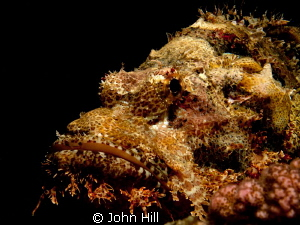 Always fascinated by the colouration of scorpionfish.  Th... by John Hill
