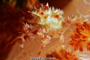 Soft coral crab Picture was taken with Nikon D3s in Suba... by Iyad Suleyman