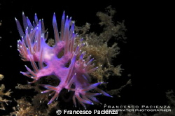 Flabellina with eggs inside the body. by Francesco Pacienza