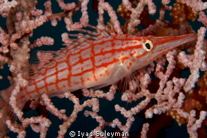 Longnose Hawkfish This picture was taken with Canon 60D,... by Iyad Suleyman