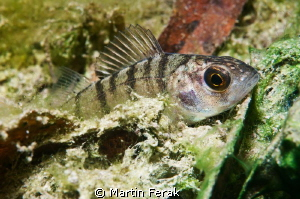Young perch from Bodiky arm of Danube river by Martin Ferak