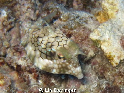 Juvenile horned cow fish by Lin Dysinger