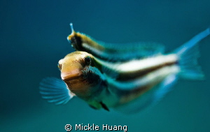 Curious fish This Striped fang blenny showed his curiosi... by Mickle Huang