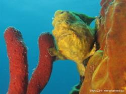 Frogfish on a soft sponge by Alex Zeni