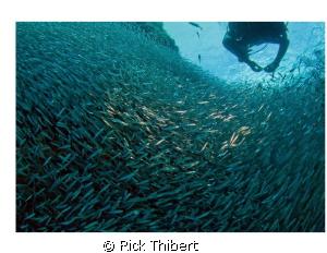 Swimming through a swarm. by Rick Thibert